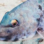Mediterranean Parrotfish, portrait of terminal phase - Sparisoma cretense thumbnail