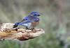 Western Bluebird - 094A0850a1c5 (Sue Coastal Observer) Tags: westernbluebird webl sialiamexicana male blackiespit surrey bc britishcolumbia canada