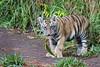 Plant Diet (greekgal.esm) Tags: bengaltiger tiger bigcat cat feline animal mammal carnivore sandiegozoosafaripark sandiegozoo safaripark sdzsafaripark sdzglobal sandiegozooglobal endextinction escondido sony rx10m3 rx10iii cub babyanimal