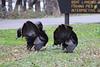 Wild Turkey (U.S. Fish and Wildlife Service - Midwest Region) Tags: fall november 2017 minnesota mn turkey wildturkey turkeys nature wildlife animals saintpaul stpaul fortsnelling statepark