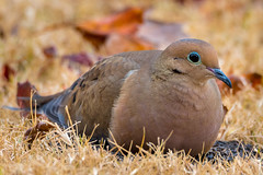 Mourning Dove on Seeds (sethjschubert) Tags: bird zenaidamacroura animal autumn wildlife fall mourningdove nature