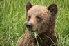 Grizzly Bear in Khutzeymateen Provincial Park, British Columbia (Anne McKinnell) Tags: ursusarctoshorribilis animal bear britishcolumbia brownbear grizzlybear khutzeymateen provincialpark wildlife