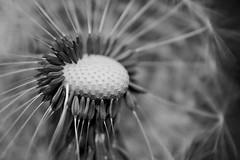 Mono (ianpercival2) Tags: dandelion macro close seeds mono nature bw blackwhite