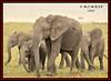 HERD OF AFRICAN ELEPHANTS  (Loxodonta africana)....MASAI MARA....SEPT 2017 (M Z Malik) Tags: nikon d3x 200400mm14afs kenya africa safari wildlife masaimara keekoroklodge exoticafricanwildlife elephants