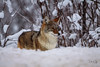 Wild Coyote (Dan King Alaskan Photography) Tags: coyote canislatrans wild winter snow brush interioralaska canon50d sigma150600mm