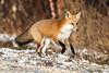 Red Fox (mobull_98) Tags: redfox