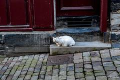 _DSC4670 - Virée à Vitré. Le chat ! (Jack-56) Tags: vitré bretagne france d700 nikon nikkor2470mmf28