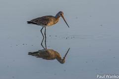 _DSC0504 (wankopaul) Tags: barge oiseaux