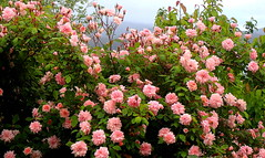 RAMBLING ROSE VIEW from my WINDOW (Lani Elliott) Tags: naturephotography nature lanielliott flowers roses ramblingrose pink pinkroses sky flowersinthesky pretty lovely garden