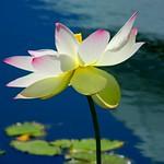 Glorious Lotus thumbnail