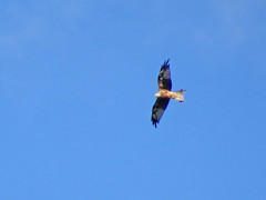 Red kite, 2017 Aug 31 -- photo 1 (Dunnock_D) Tags: uk unitedkingdom britain england shropshire stokesay blue sky redkite kite flying bird soaring raptor