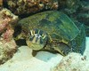 stare (BarryFackler) Tags: honu hawaiiangreenseaturtle cheloniamydas marinereptile water sea ocean turtle seaturtle cmydas greenseaturtle reptile shell honaunaubay pacificocean saltwater marine tropical hawaii polynesia island kona westhawaii southkona hawaiiisland bigisland outdoor pacific sealifecamera dive konacoast hawaiicounty diving ecology underwater sandwichislands nature life creature bay undersea honaunau organism seacreature reef coralreef animal fauna marinelife biology vertebrate ecosystem aquatic sealife zoology scuba 2017 hawaiidiving hawaiianislands konadiving marineecosystem marineecology marinebiology coral being diver