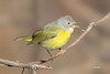Nashville Warbler (Mike Veltri) Tags: birds avian warbler nashville winter wild nature oakville ontario canada