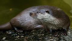DARLING (babsbaron) Tags: nature tiere animals fisch fish otter fischotter wildpark lüneburg lüneburgerheide