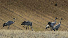 Grulla común (Grus grus) (jsnchezyage) Tags: grullacomún grusgrus ave fauna naturaleza bird birding birdwatching ornithology beak feather crane coth5