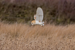 JWL3942  Barn Owl..