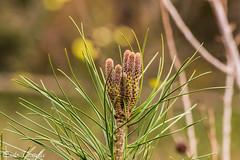 Aghi di pino (paolotrapella) Tags: piante natura aghi pino alberi autunno paolotrapella tamron70300vc canoneos verde