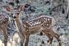 Deer (deepskywim) Tags: reeën zoogdieren dieren kingscanyonnationalpark california unitedstates us