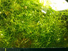 Crystalwort-Riccia-Fluitans-Floating_01 (The Fin Is Mightier Swordtails) Tags: riccia fluitans crystalwort