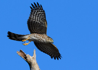 Sharp-Shinned Hawk cruising along.