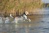 Spel en vreugd op het hondenstrand (Jan-Willem Adams) Tags: adamsphotography buddy dog erkemederstrand fordjw gelderland herfst honden labrador nederland netherlands zeewolde flevoland nl
