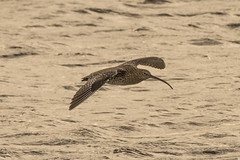 Curlew (smithnorman65) Tags: curlew wader shore bird