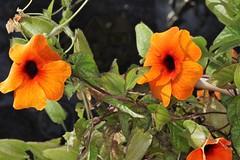 Thunbergia alata, la suzanne aux yeux noirs ou oeil-de-Suzanne, black eyed susan vine. (chug14) Tags: plantae plante flower fleur acanthaceae oeildesuzanne suzanneauxyeuxnoirs blackeyedsusanvine thunbergia thunbergiaalata unlimitedphotos