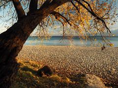 The last golden autumn leaves .... (Ostseeleuchte) Tags: ostsee balticsea sierksdorf herbstgoldamstrand treeatthebeach autumngold herbstzeit endspurt herbstlaub norddeutschland schleswigholstein