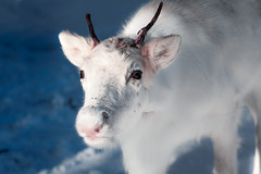 Pure Beauty (BeNowMeHere) Tags: ifttt 500px winter travel light snow baby reindeer nature landscape animals white finland lapland angels purebeauty benowmehere