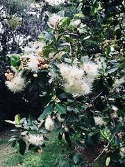 Syzygium australe - Brush Cherry, Creek Satinash (Black Diamond Images) Tags: syzygium syzygiumaustrale myrtaceae brushcherry creeksatinash arfp nswrfp qrfp subtropicalarf warmtemperatearf littoralarf dryarf arfrheophyte leaf rnrfgdb rnrfgdbarfp arfflowers whitearfflowers australianrainforestplants australianrainforestplant rainforestplant rainforestplants australianplants australiannativeplants australiannativeplant diamondbeach hallidayspoint nsw appleiphone7plus iphone7plus iphone