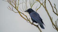 Sheen (Martyn William's Birds) Tags: rspbleightonmoss leightonmossrspb silverdale crow nikond810 nikonvrafs300mmf28gediflens nikonafstc14eiiteleconverter