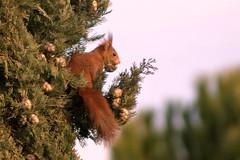 une dernière petite pomme de pin avant le soir (guy dhotel) Tags: écureuil squirrel red roux