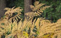 fall ferns (heinz41) Tags: epl7 olympus lumix1260mmf3556 panasonic stanleypark lostlagoon fall fallcolors ferns plants vancouver