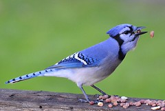 Bit Off More Than I Could Chew! (DaPuglet) Tags: jay jays bluejay blue bird birds animal animals nature wildlife peanuts ontario coth5 sunrays5 fantasticnature alittlebeauty coth specanimal