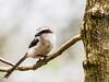 Mackinnon's  Fiscal/Lanius mackinnoni, (odileva) Tags: lakebunyonyi august oiseaux mackinnonsfiscallaniusmackinnoni lake bird uganda nature ndorwa westernregion ouganda ug