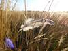 Caught (Lexie's Mum) Tags: continuing30dayswild walking walks walkingthedog nature wildlife scenery floraandfauna feather sunlight grasses