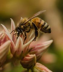 Bee on succulent flower (m&em2009) Tags: bee succulent flower pollen insect fantastic nature fantasticnature