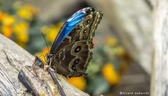 2382  Mariposa (Ricard Gabarrús) Tags: papallona insecto olympus ricardgabarrus ricgaba macro