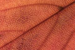 Autumn Leaf Macro (Brian Dunning) Tags: autumn leaf macro canon eos7dmarkii ef100mmf28lmacroisusm 600exrt veins