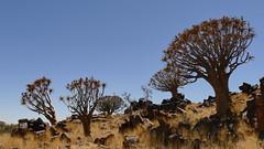 im Köcherbaumwald (marionkaminski) Tags: namibia afrika africa keetmannshoop köcherbaum tree arbre arbol landschaft paysage paisaje steine stones rock panasonic lumixfz1000