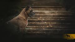 Extrem Style iz Dinasti Chempionov (owner Amra Corso kennel, Serbia) (Katarina Drezga) Tags: dogs dogphotography petphotography pets canecorso dog nikond750 tamron70200vcg2