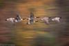 Geese in Autumn (Kathrin Swoboda) Tags: canadiangeese flight blur autumn panning