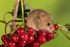 Not frightened of spiders! (Linda Martin Photography) Tags: libertys captivelight ringwood micromysminutus mouse harvestmouse animal berries red green coth spider coth5 ngc naturethroughthelens npc
