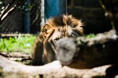 FRO_2978 (jaredpolin) Tags: sigma realworldreview froknowsphoto philadelphiazoo animals zoo gorilla birds natrure wildlife