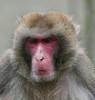 Macaca fuscata, le macaque japonais, the japanese macaque. (chug14) Tags: unlimitedphotos animalia mammalia primates cercopithecidae japanesemacaque macaque macaquejaponais macacafuscata