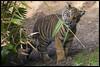 Eating His Greens (KRIV Photos) Tags: dc sandiego sandiegozoosafaripark sumatrantiger tiger animal