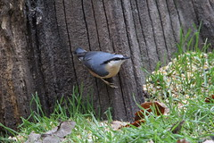 Nuthatch (Dorde Vranjes) Tags: bird birds birding birdsong birdwatch birdwatching birdwatcher nature swithland woods charnwood leicestershire ornithology ornithologist photography canon eos1300d camera tamron 15060mm lens wild wildlife walking rambler outdoors beauty natural history bto birdtrack rspb countryside england flickr midlands nuthatch