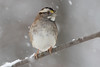 White-Throated Sparrow in the Snow 12-9-2017-2 (Scott Alan McClurg) Tags: emberizidae passeri passeroidea zalbicollis zonotrichia animal back backyard bird delaware life nature naturephotography neighborhood perch perching portrait snow snowing songbird sparrow suburbs whitethroated whitethroatedsparrow wild wildlife winter