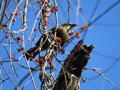 RUBL_2017 (Surfishrink) Tags: blacksburg rustyblackbird euphaguscarolinus deerfieldtrail