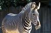 Zebra (JOAO DE BARROS) Tags: joão barros animal zebra